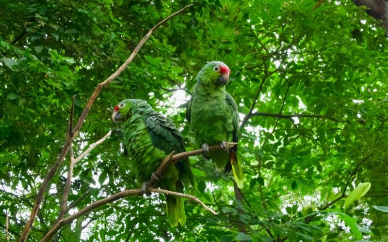 Top 5 amazon parrots to keep as pets