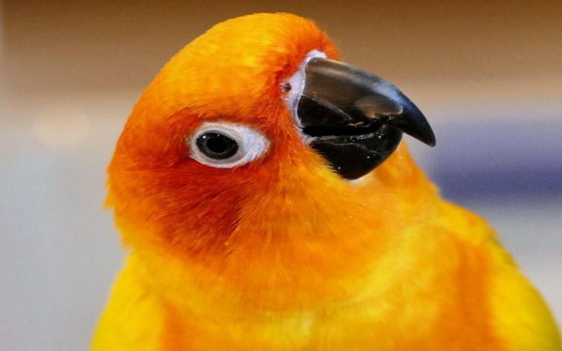 Conure Parrot  Personality, Food and Care