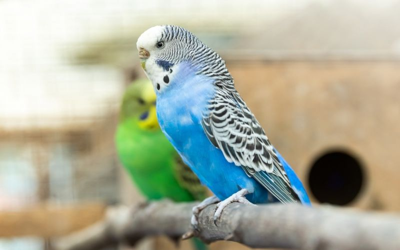 How to Make a Budgie Live Longer