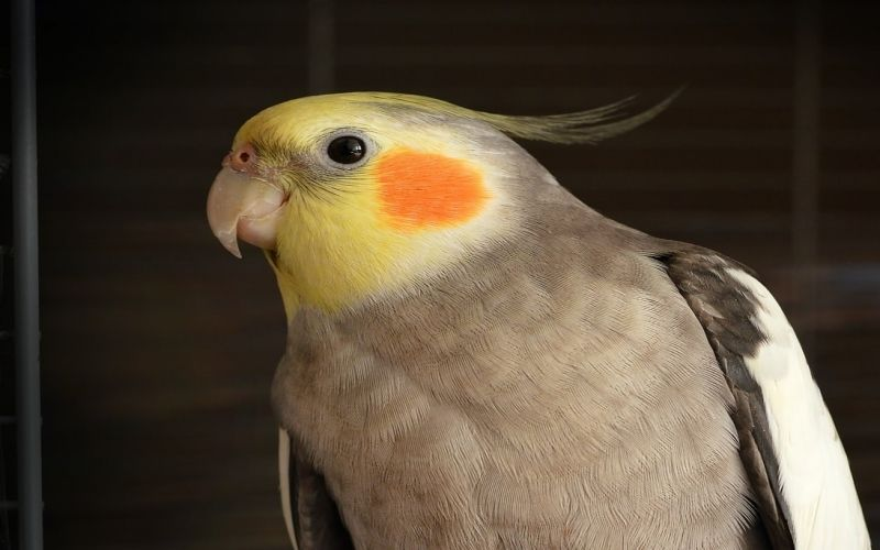 5 pet birds that live no more than 20 years