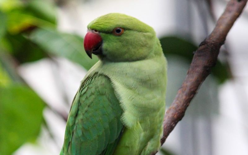 All you need to know about the Indian Ringneck