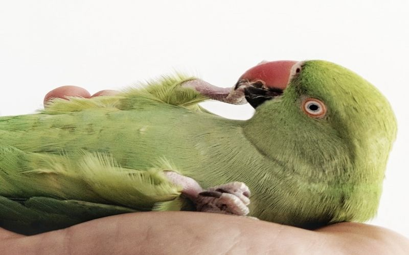 How to exercise your pet parrot